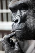 thinking gorilla - stock photo