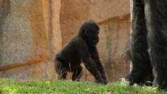 Baby gorilla Stock Footage