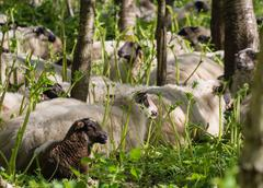 Sheep resting after eating hogweed Stock Photos