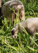Lamb eating hogweed - stock photo