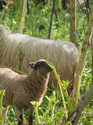 Lamb eating hogweed - stock photo