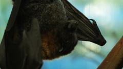 fruit bat goes to sleep - stock footage