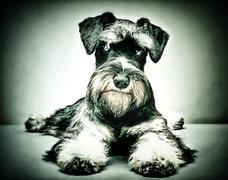 Miniature schnauzer puppy Stock Illustration