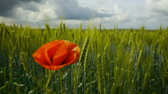 Single poppy flower with green wheat field on a background Stock Footage