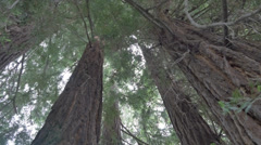 Low angle view of Sequoia sempervirens Stock Footage