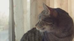 Gray Tabby near Window, Close Up Stock Footage
