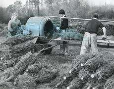 Stock Photo of Harvesting Christmas trees, 1980s
