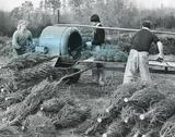 Harvesting Christmas trees, 1980s Stock Photos