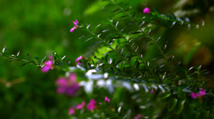 Beautiful small pink flowers. Macro video with shift Stock Footage