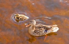 Mallard anas platyrhynchos duckling duck quacking Stock Photos