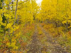Wilderness trail golden fall aspen boreal forest Stock Photos