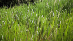 Green Pasture Softly Swaying in the Wind Stock Footage