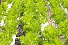 Organic hydroponic vegetable garden farm Stock Photos