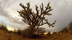 Low Angle Cholla Cactus Bush Under Cloudy Sky At Dusk Stock Footage