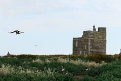 Flying Puffins on the Farne Islands - stock photo