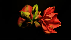 Amaryllis Flower with two heads Open and two Heads Closed - 29,97FPS NTSC 4K UHD Stock Footage