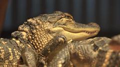Crocodiles, Alligators, Reptiles, Wild Animals Stock Footage