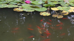 Lotus blossoms and swimming fish Stock Footage