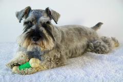 Schnauzer dog with toy bone Stock Photos