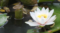 White lotus blossoms Stock Footage