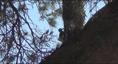 woodpecker on the pine - stock footage