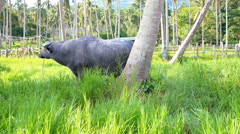 Buffalo Feeding in the Palm Forest. Stock Footage