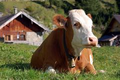 Cow in Alpine Alm Stock Photos