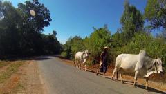 Asian farmer with cows, Burma Stock Footage