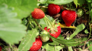 Stock Video Footage of Growing strawberry