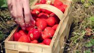 Stock Video Footage of Filling basket with strawberries
