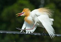 Adult eastern cattle egret in breeding plumage runs on electricity wire, indo Stock Photos