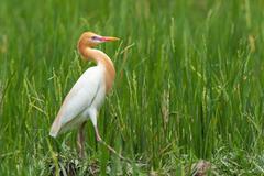 Eastern cattle egret in breeding plumage walking along a rice field, indonesi Stock Photos