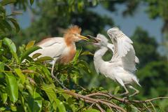 Fledgling eastern egret begging for food from one of the parents, indonesia Stock Photos