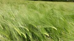 Wheat green field Stock Footage