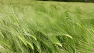 Stock Video Footage of Wheat green field