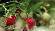 Stock Video Footage of Strawberries mellows