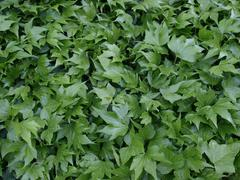 Stock Photo of Ivy picture