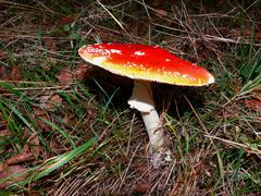 amanita muscaria poisonous mushroom in autumn forest - stock photo