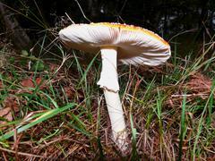 amanita muscaria poisonous fungus - stock photo