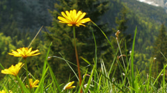 Zoom out. Flowers in mountains on sunny day. Stock Footage