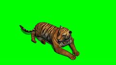 Tiger piilee - green screen Arkistovideo