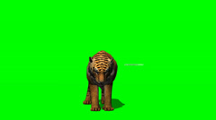 Tiger syö - green screen Arkistovideo