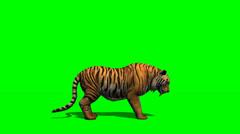Tiger kävelee - green screen Arkistovideo