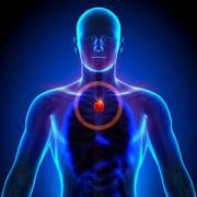 Thymus - Male anatomy of human organs - x-ray view - stock photo