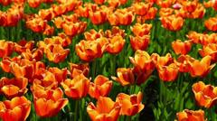 Field of orange tulips blooming - slider dolly shot Stock Footage