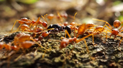 Close-Up Red ants team work for food Stock Footage