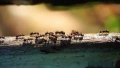 Close-Up Crawling ants seamless loop. Teamwork Concept Stock Footage