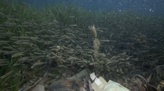 School of striped eel catfish swimming around plastic bag floating underwater Stock Footage