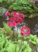"Red Japanese Flower in ""Landgoed Clingendeal"" Japanse Tuin in Den Haag (Hollan Stock Photos"