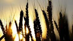 ears of wheat at dawn, sunset, dolly shoot - stock footage